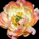 Peony in her glory!!! © by Dawn Becker