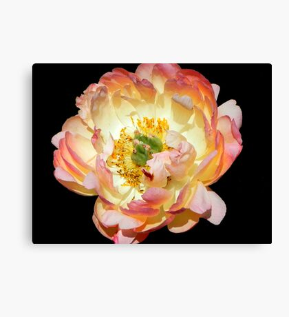 Peony in her glory!!! © Canvas Print