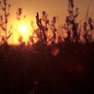 Sunset between the grasses by Matt Sillence