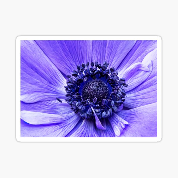 Blue Anemone Sticker