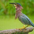 Bearded Heron by Daniel  Parent