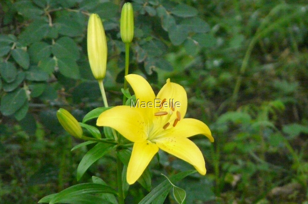 Yellow Lily, by MaeBelle