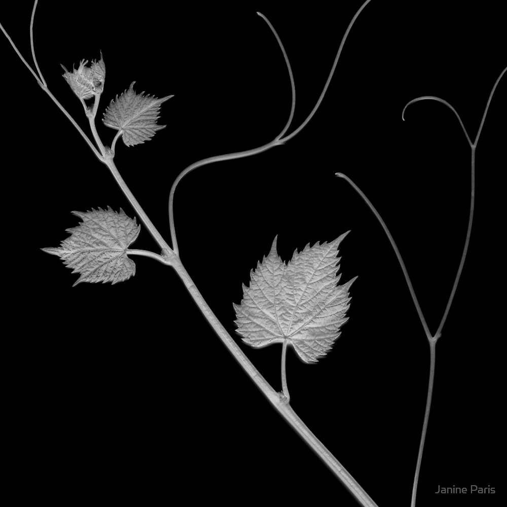 grapevine scanogram b&w by Janine Paris