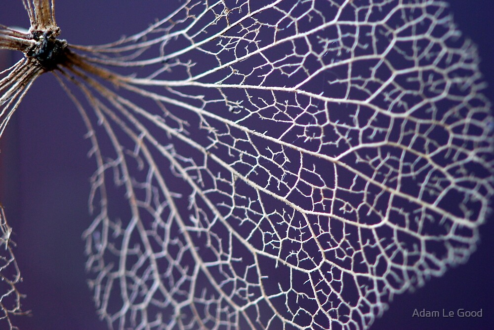 Lace Hydrangea by Adam Le Good