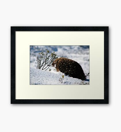 Echidna in Snow Framed Print