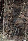 Bobcat capture by Christine Ford