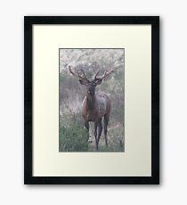 bull elk challenge Framed Print