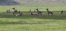 elk in water meadow by Christine Ford