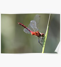 Ruby Meadowhawk Poster