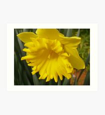 'A TINY TRUMPET WITHIN!' King Alfred Daffodil. Art Print