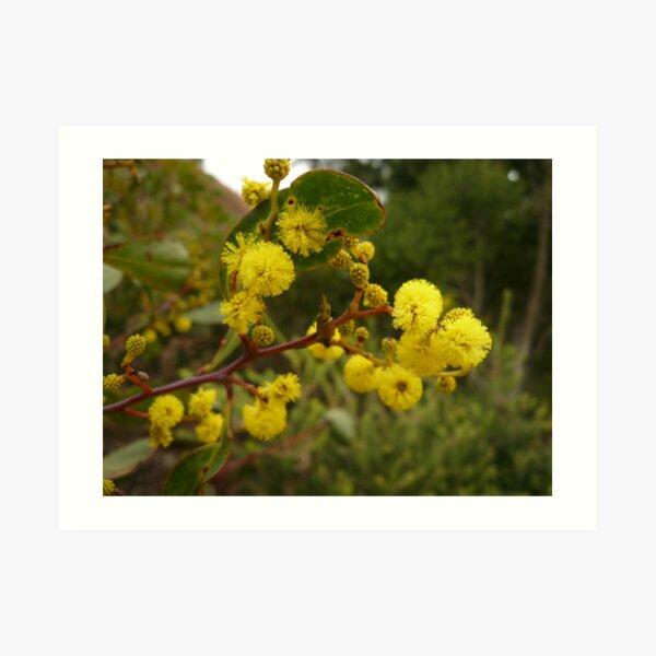 ONP Acacia Blossoms 2 Art Print