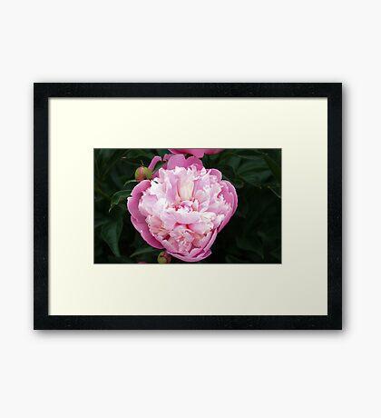 Pretty Pink Peony Framed Print