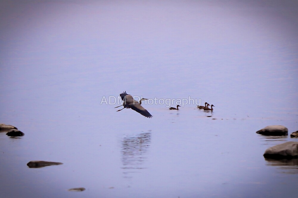 Blue Heron in Flight and a Family of Ducks by Amber D Hathaway Photography