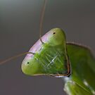 Mantis by Glynn May