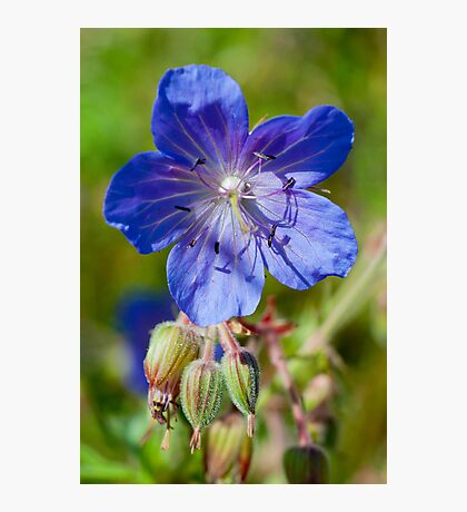 Meadow Cranesbill Photographic Print