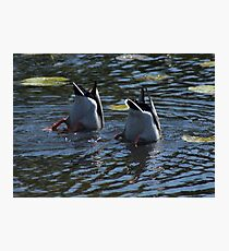 Diving Ducks  Photographic Print