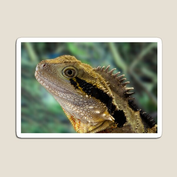 Eastern Water Dragon, Physignathus lesueurii Magnet