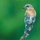 Female Eastern Bluebird by (Tallow) Dave  Van de Laar