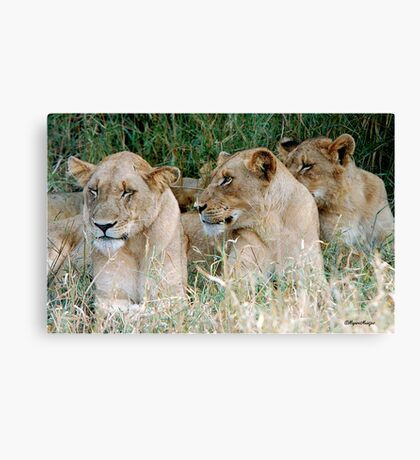 LAZY ONE WAY DIRECTION - The Kruger Park lions Canvas Print