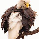 upset bald eagle by George  Close
