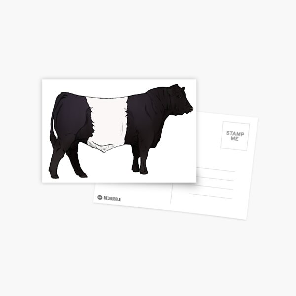 Belted Galloway Bull Postcard