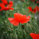 Field of Remembrance by Rick Haigh