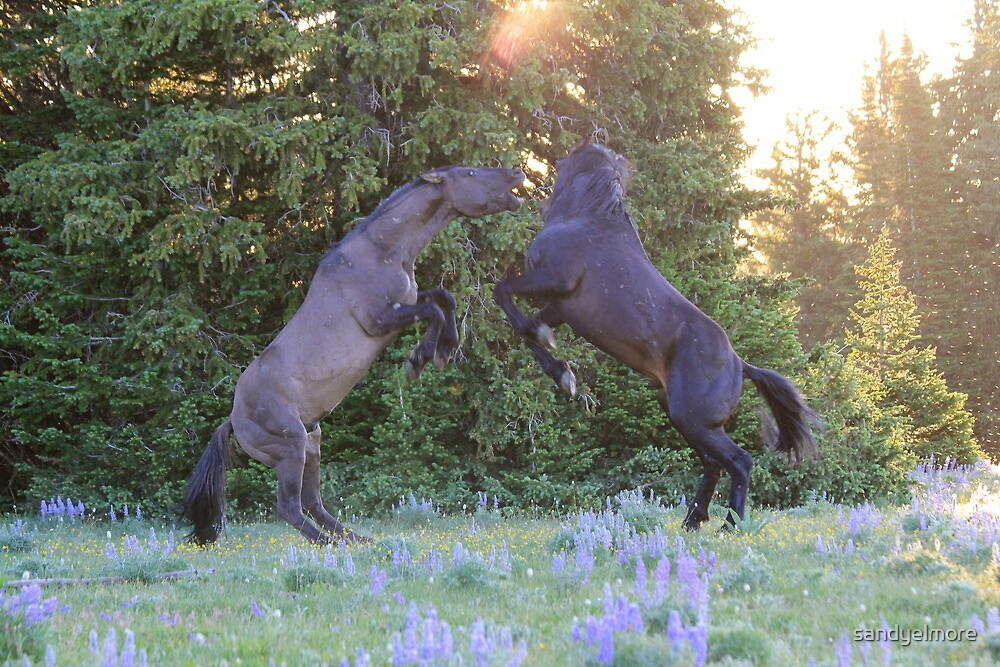 Two Pryor Mountain Stallions Fight in the Morning Sun by sandyelmore