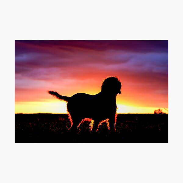 Spinone Sunset Silhouette Photographic Print