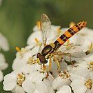 Tiny Hoverfly by Robert Abraham