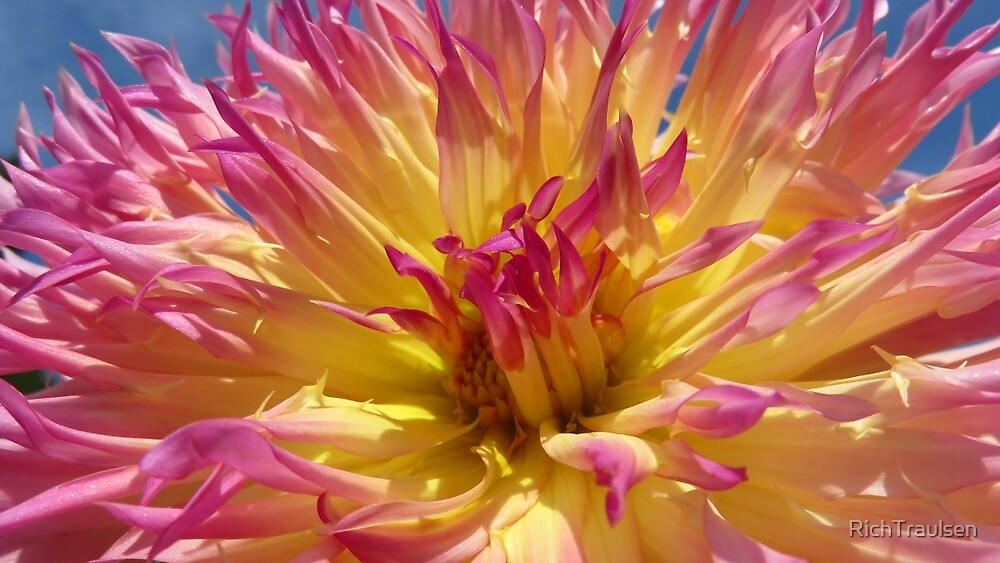 Yellow and Pink Dahlia 8 2014 by RichTraulsen