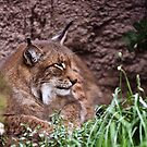 Bobcat by Robert  Miner