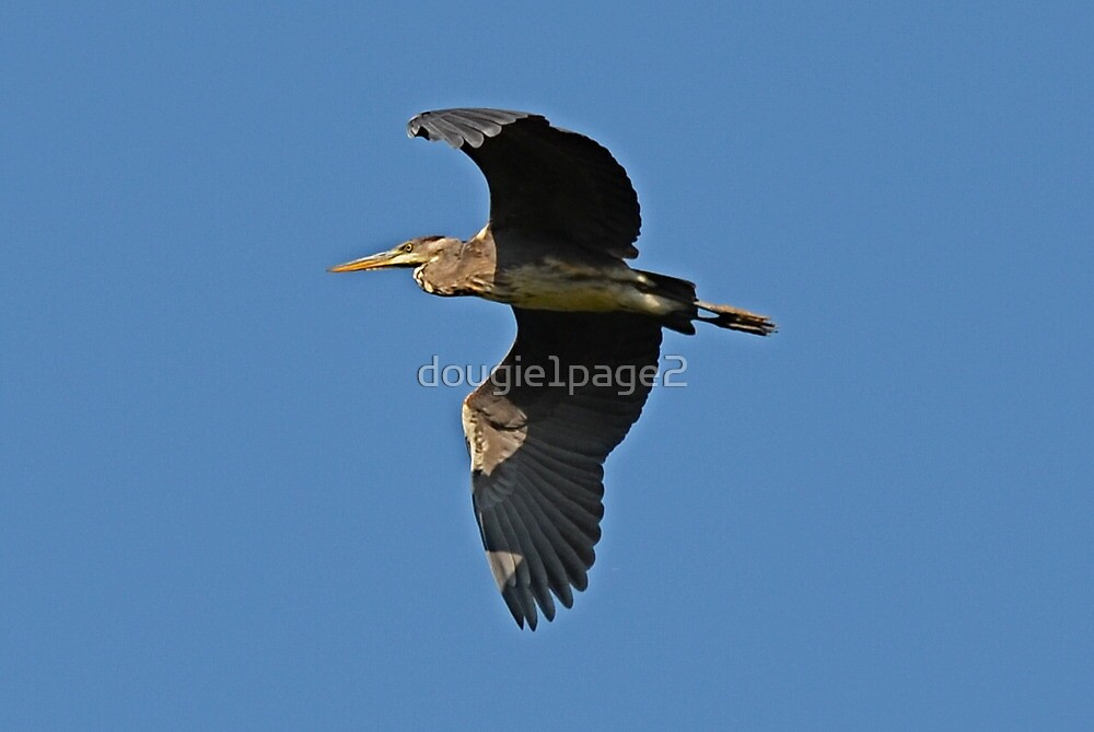my first half decent heron in flight shot! by dougie1page2