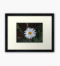 A Single Daisy  Framed Print
