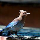 Steller's Jay by flyfish70