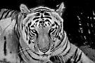 Stripes by Ravi Chandra