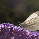 A Green Veined White. by Ron117