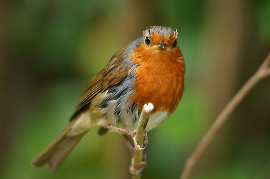 Robin by ChrisGPhotos