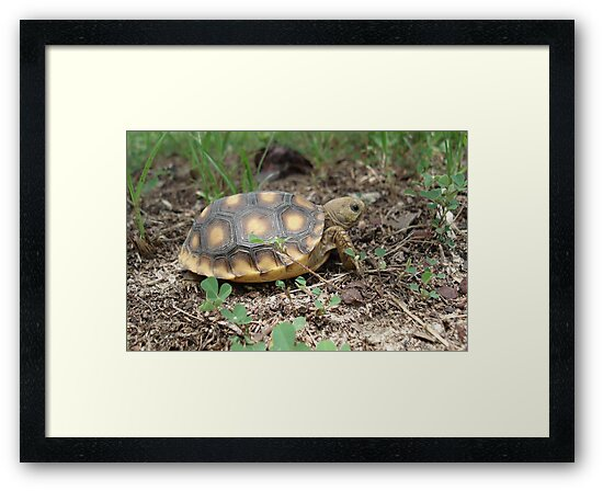 GOPHER TORTOISE HATCHLING by May Lattanzio