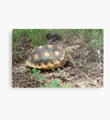 GOPHER TORTOISE HATCHLING Metal Print