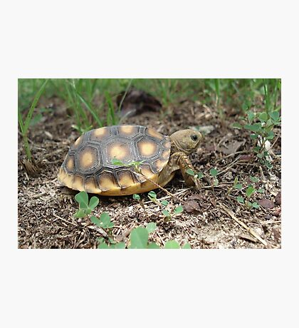 GOPHER TORTOISE HATCHLING Photographic Print