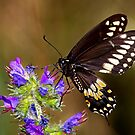 Swallowtail Butterfly by Jim Cumming