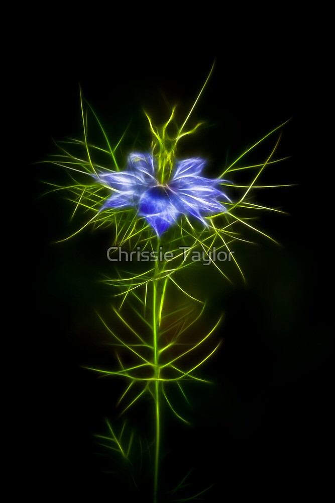 Love In A Mist Fractilous Style by Chrissie Taylor