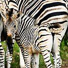 Burchell's Zebra by Elsa Dyason