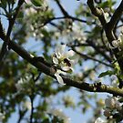 Apple Blossom and Bee by shane22