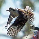 Kookaburra cruising the garden by Paul  Donaldson