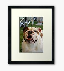 Olde English Bulldog Framed Print