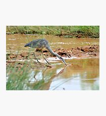 natureal moments,blue heron Photographic Print