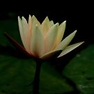 Contrast.    Peach/Yellow waterlily by mikrin