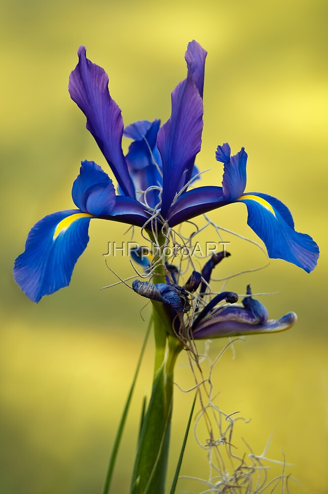 Iris by JHRphotoART