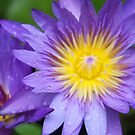 Purple Water Lilly by Lesley  Hill